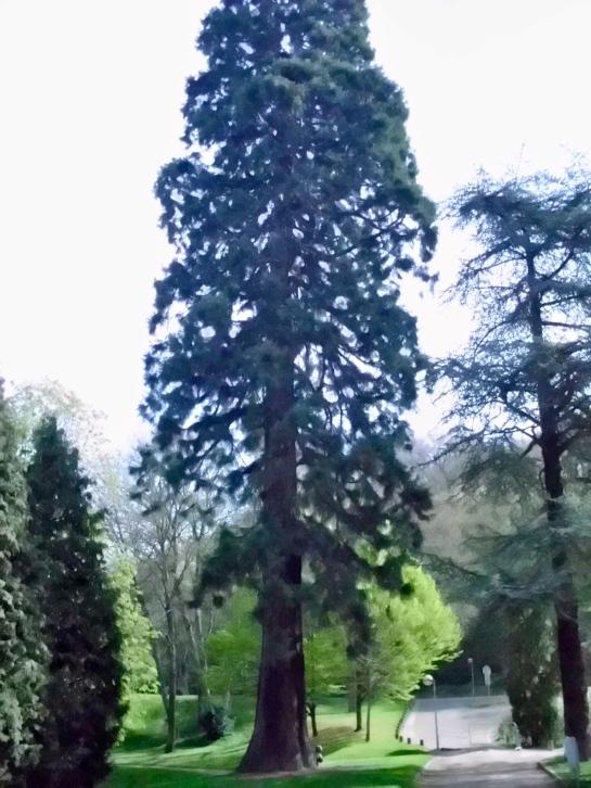 The Sequoia